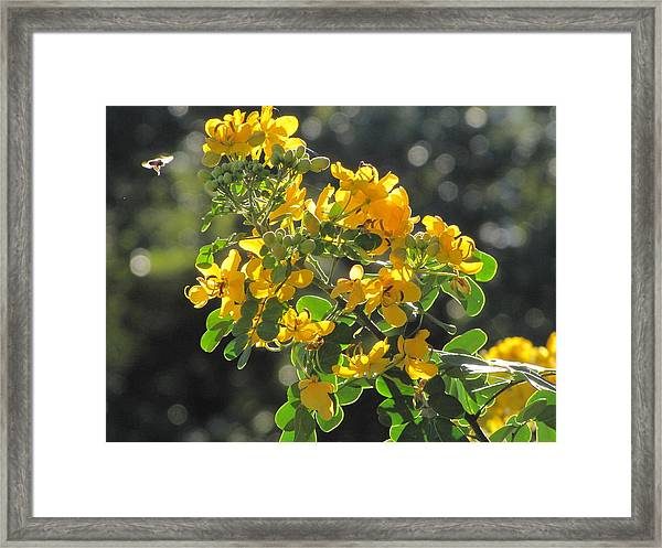 Catchlight Bee Over Yellow Blooms Framed Print