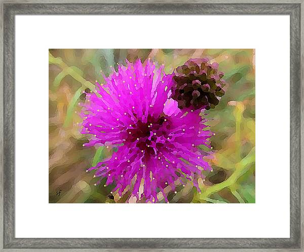 Catclaw Pink Mimosa  Framed Print