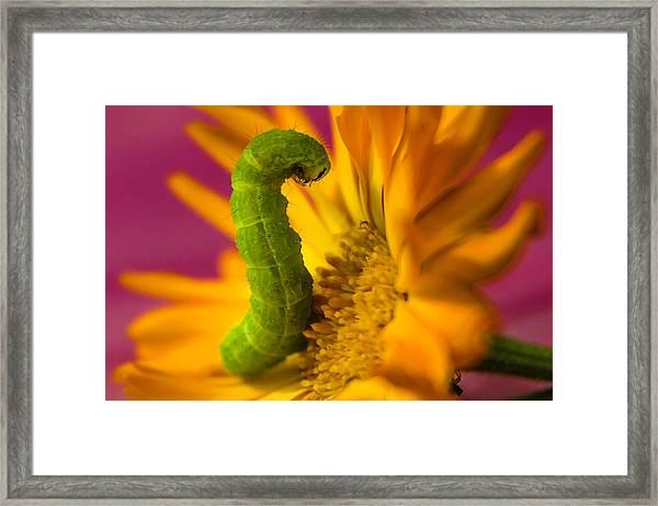 Caterpillar In Flower Framed Print