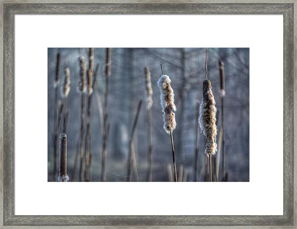 Cattails In The Winter Framed Print