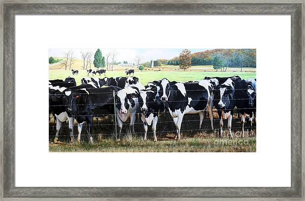 Cattle Call Framed Print