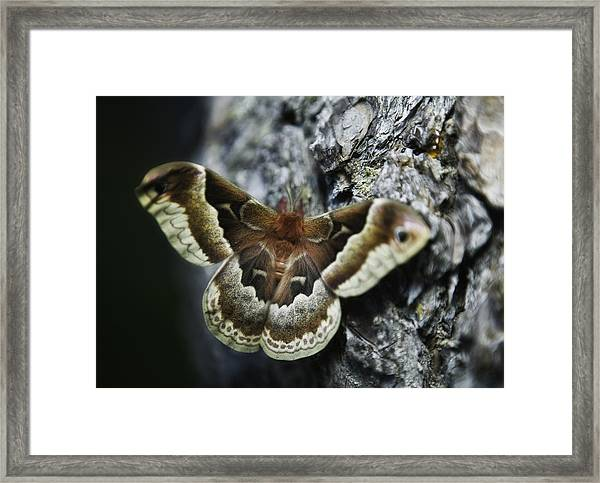 Cecropia Moth Framed Print