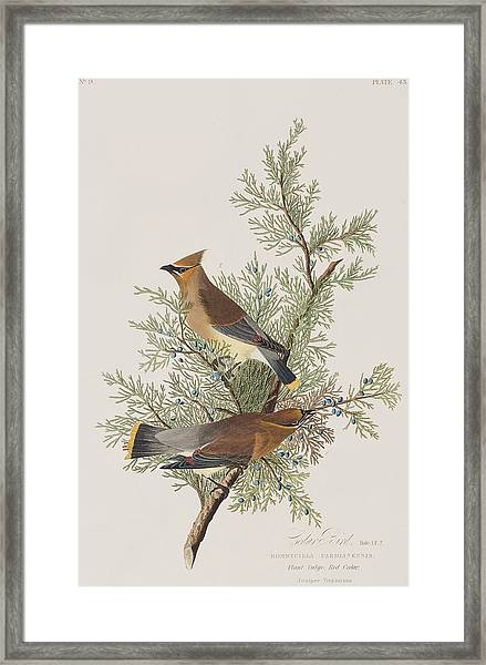 Cedar Bird Framed Print