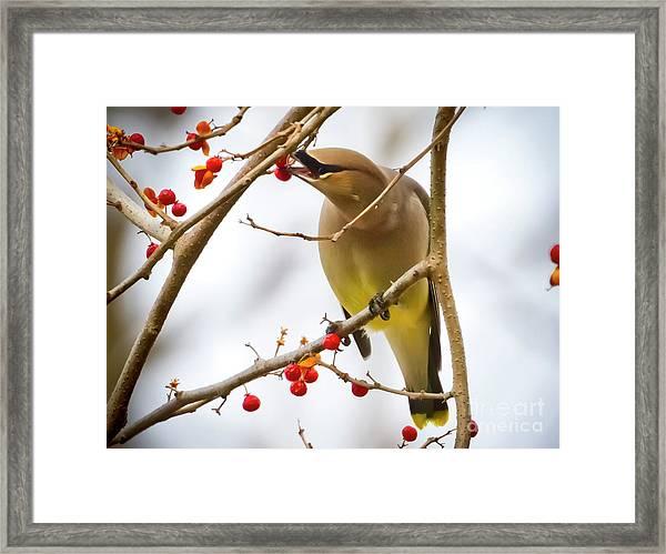 Cedar Waxwing Feeding  Framed Print