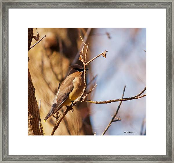 Cedar Waxwing In Autumn Framed Print