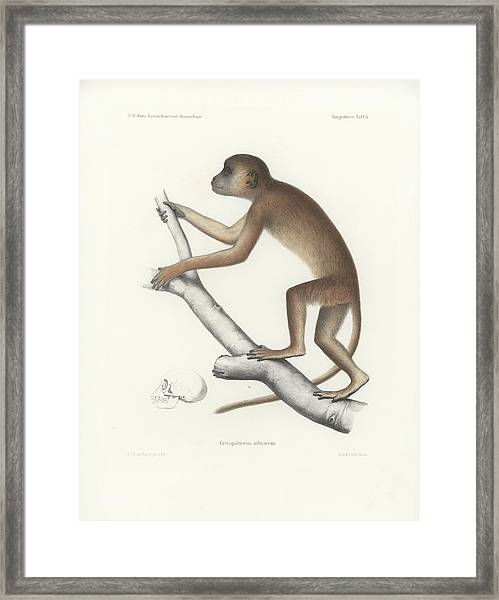 Framed Print featuring the drawing Central Yellow Baboon, Papio C. Cynocephalus by J D L Franz Wagner