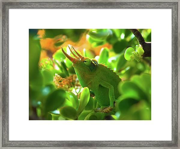 Chameleon King Framed Print