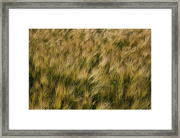 Changing Wheat Framed Print