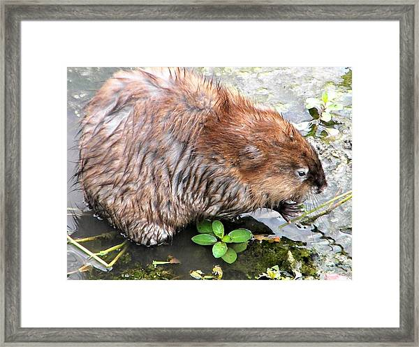 Charley The Muskrat Framed Print