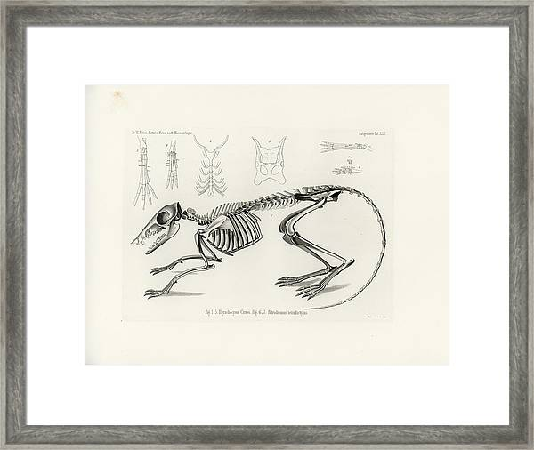 Framed Print featuring the drawing Checkered Elephant Shrew Skeleton by W Wagenschreiber