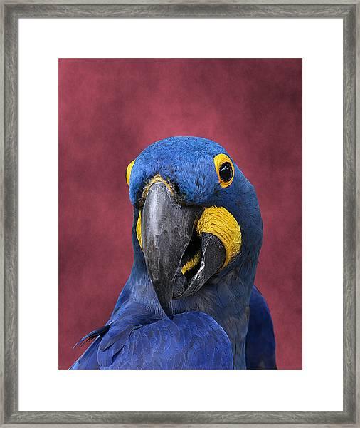 Cheeky Macaw Framed Print