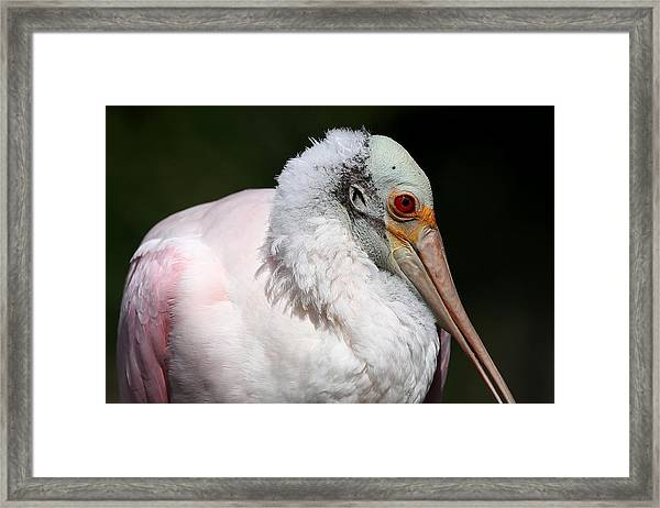 Cheese Puff Face - Roseate Spoonbill Framed Print