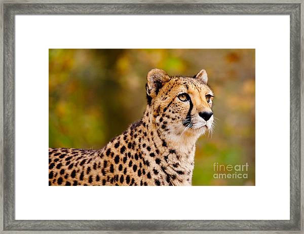 Cheetah In A Forest Framed Print