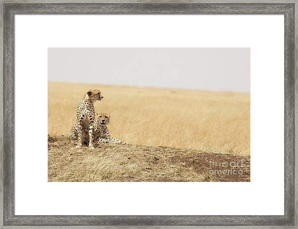 Cheetah Pair In The Masai Mara Framed Print