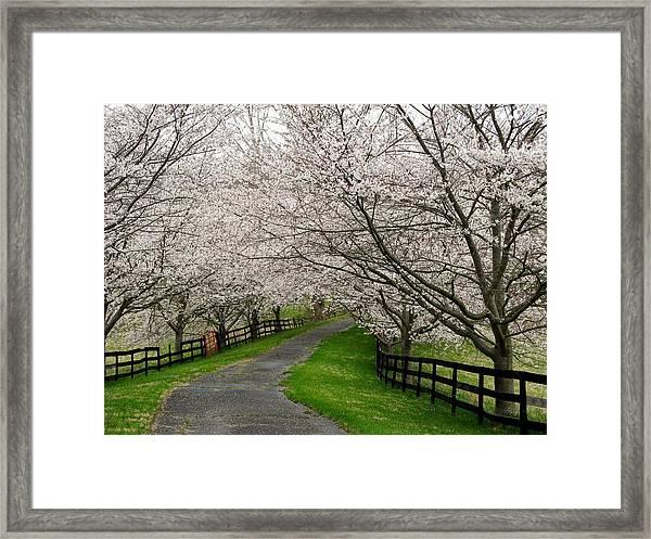 Cherry Blossom Lane Framed Print by Joyce Kimble Smith