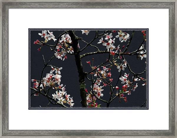 Cherry Blossoms On Dark Bkgrd Framed Print