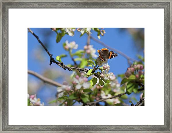Monarch Butterfly On Cherry Tree Framed Print