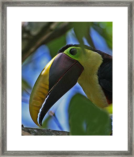 Chestnut-mandibled Toucan Framed Print