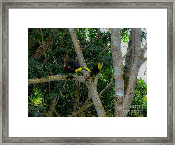 Chestnut-mandibled Toucans Framed Print