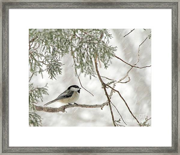 Chicadee In A Snow Storm  Framed Print