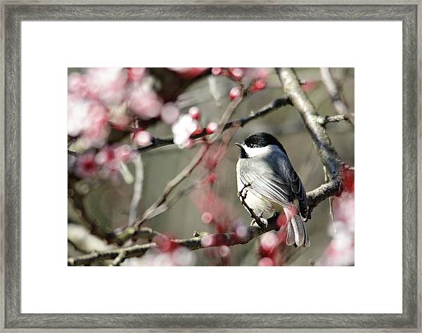 Chickadee Framed Print