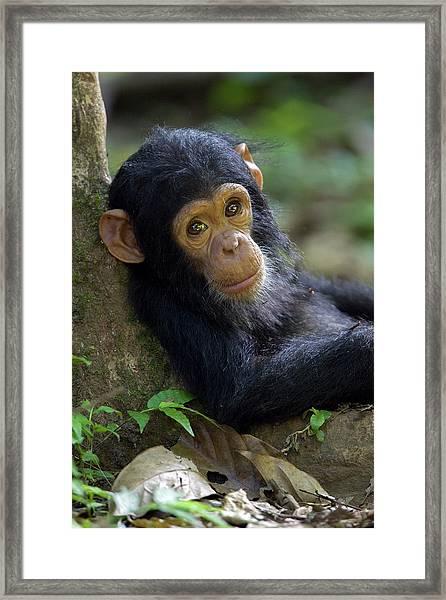 Chimpanzee Pan Troglodytes Baby Leaning Framed Print