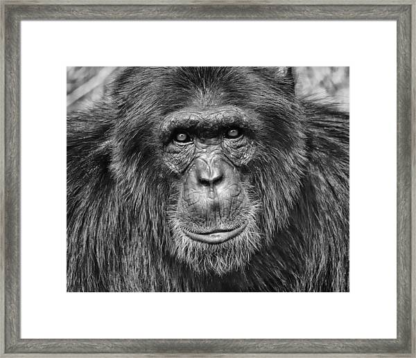 Chimpanzee Portrait 1 Framed Print by Richard Matthews