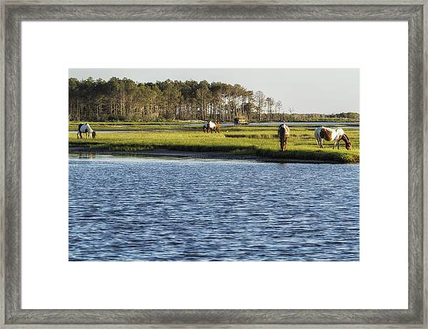 Chincoteague Ponies On Assateague Island Framed Print