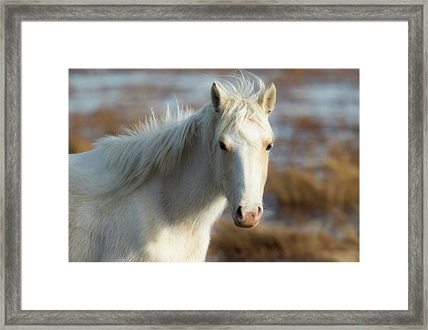 Chincoteague White Pony Framed Print