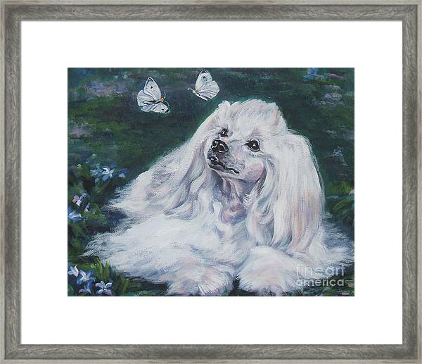 Chinese Crested Powderpuff With Butterflies Framed Print