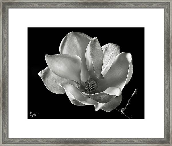 Chinese Magnolia Framed Print