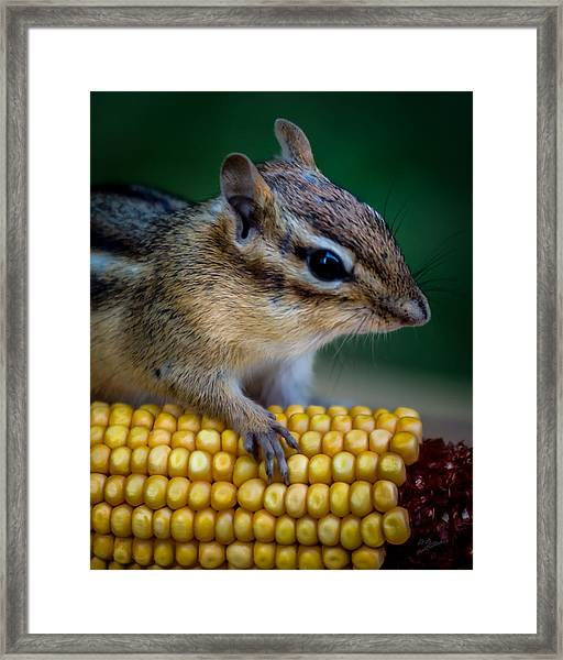Chipmunk Goes Wild For Corn Framed Print