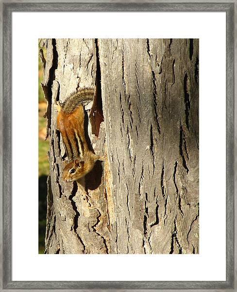 Chipmunk In Fall Framed Print