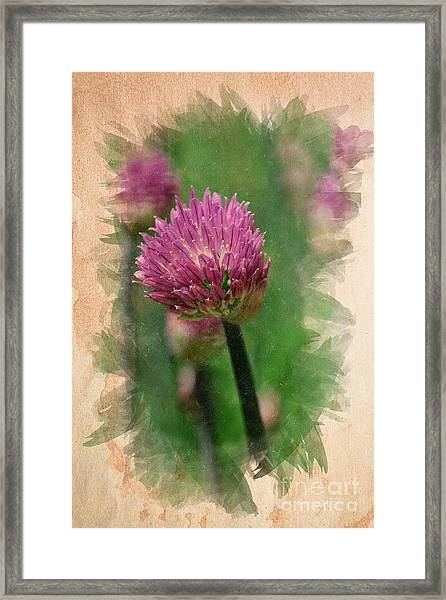 Chive Blossoms In June Framed Print