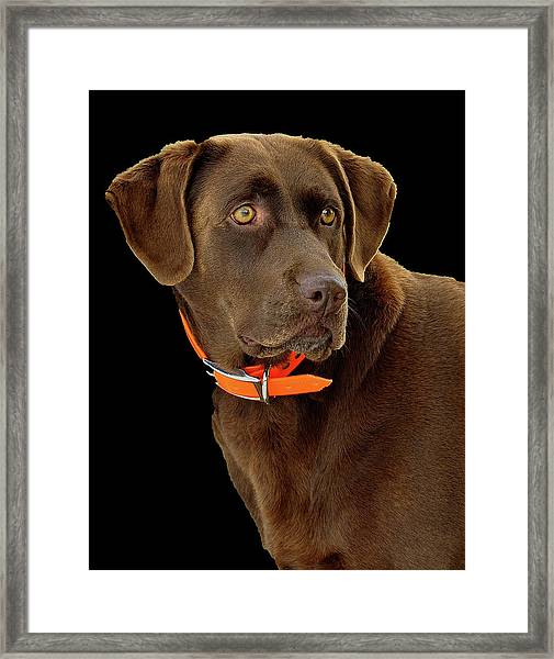Framed Print featuring the photograph Chocolate Lab by William Jobes