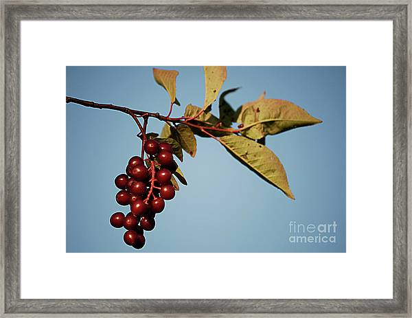 Choke Cherry Framed Print