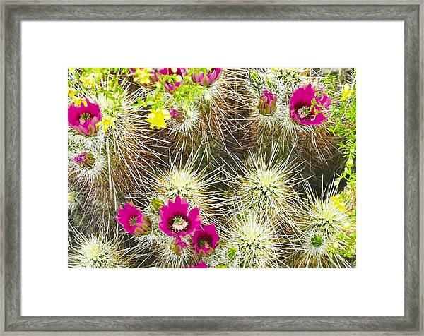 Cholla Cactus Blooms Framed Print