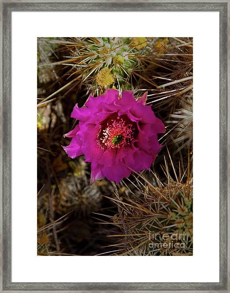 Cholla Cactus Blossom-signed-#3325 Framed Print