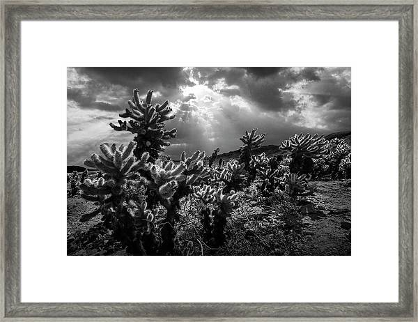 Cholla Cactus Garden Bathed In Sunlight In Black And White Framed Print
