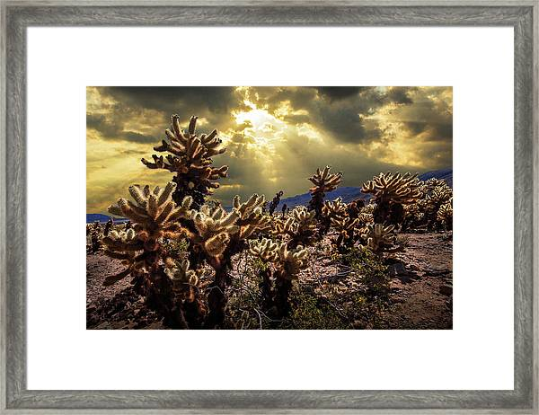 Cholla Cactus Garden Bathed In Sunlight In Joshua Tree National Park Framed Print