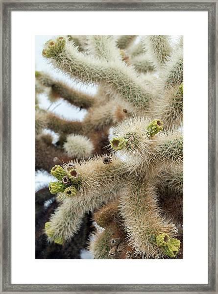 Cholla Cactus Garden Closeup Framed Print