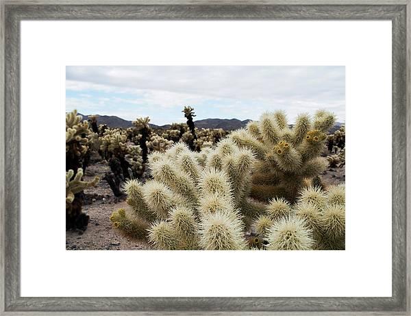 Cholla Cactus Garden Landscape Framed Print