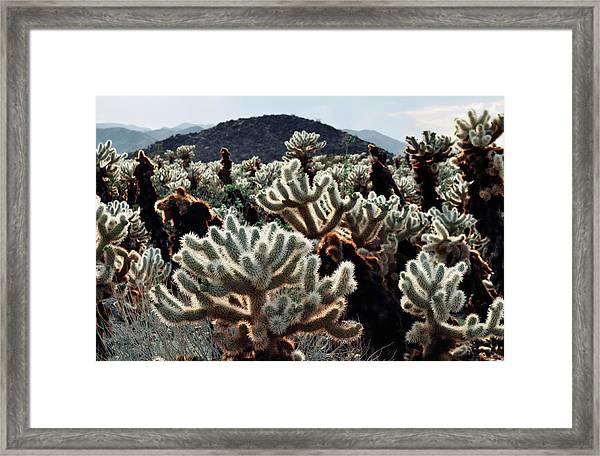 Cholla Teddy Bear Cactus Garden Landscape Framed Print