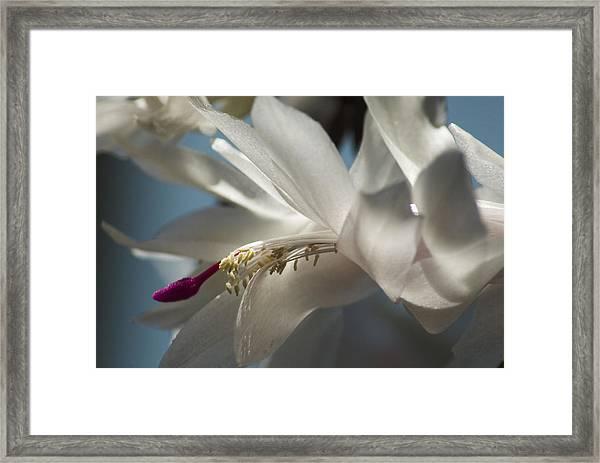 Christmas Cactus Blossom Framed Print