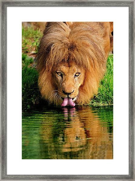 Christmas Lion Framed Print