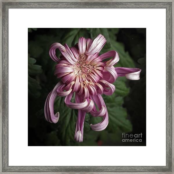 Chrysanthemum 'jefferson Park' Framed Print