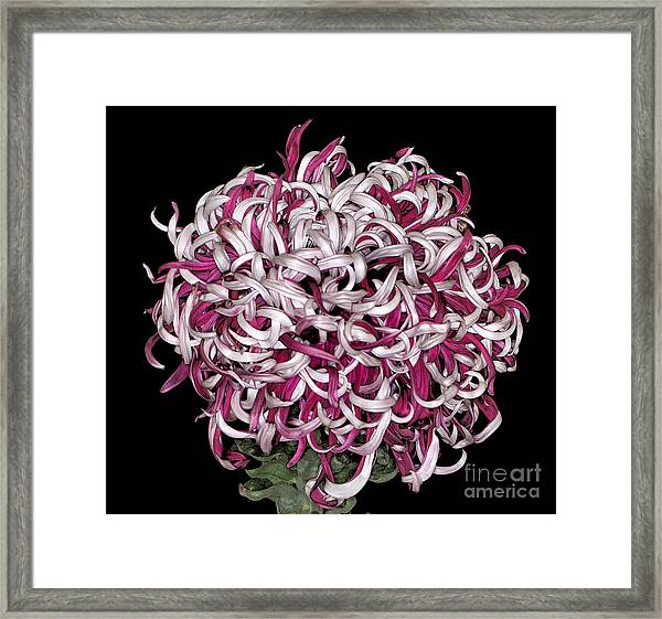 Chrysanthemum 'lili Gallon' Framed Print