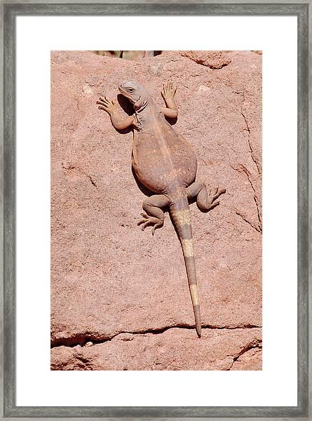 Framed Print featuring the photograph Chuckwalla, Saurolamus Ater by Breck Bartholomew