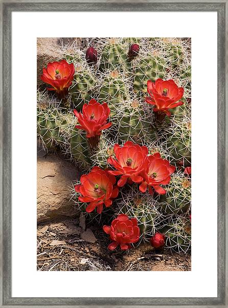 Claret Cup Cactus Framed Print