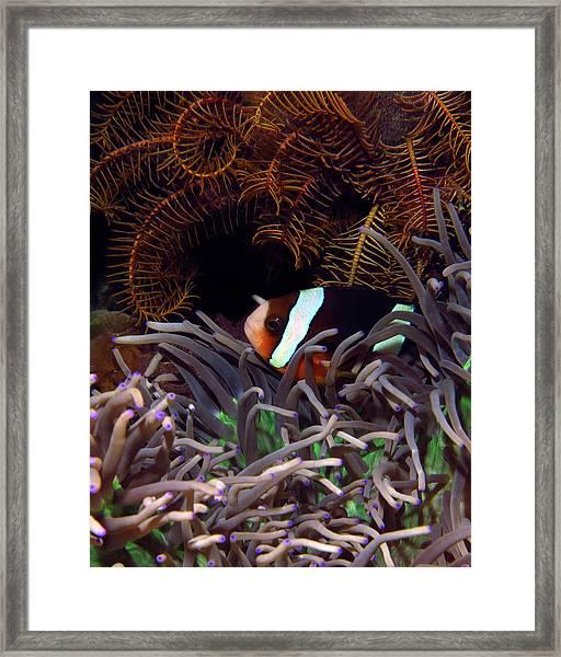 Clark's Anemonefish, Indonesia 2 Framed Print